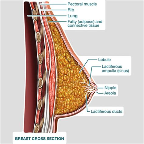 cross section of breast breast cross section labeled bodypartchart official site
