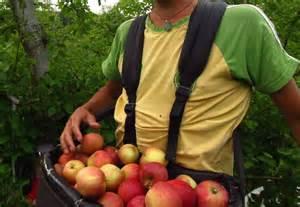 Apple Picker by Apple Picking In Australia Picktheworld