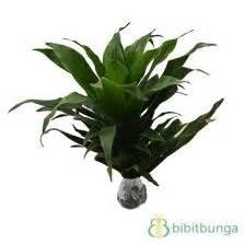 Tanaman Dracaena Florida tanaman florida bibitbunga