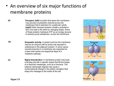 7 protein functions membrane function and structure and cell transport