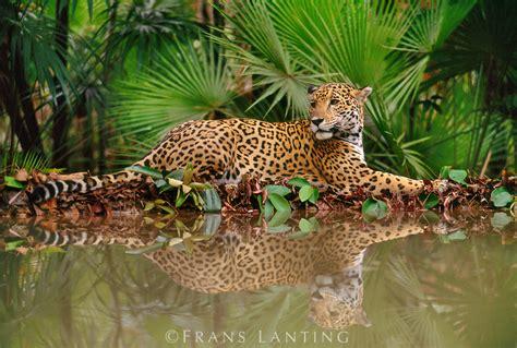 imagenes del jaguar en su habitat el jaguar y el leopardo solo tienen una cosa en com 250 n y