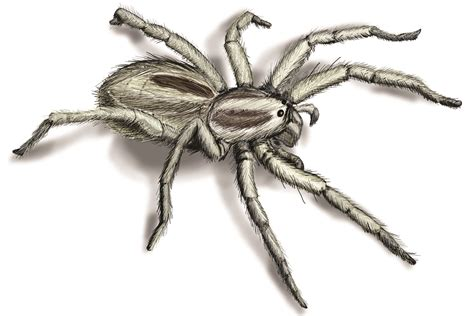 Orkin Bed Bugs Wolf Spider Infestation How To Get Rid Of Wolf Spiders
