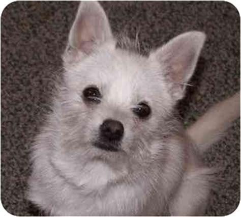 westie pomeranian mix cairn terrier pomeranian mix breeds picture