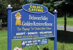 delaware valley golden retriever rescue available dogs dvgrr on golden retriever rescue delaware and dogs