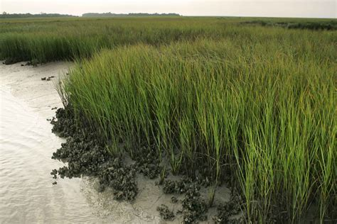 oyster beds file designated wilderness marsh with oyster beds jpg