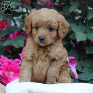 doodle name justine miniature goldendoodle puppies for sale in pennsylvania