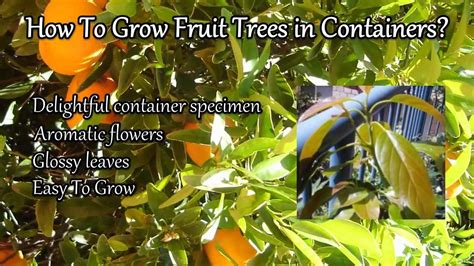 how to grow a fruit tree how to grow fruit trees in containers