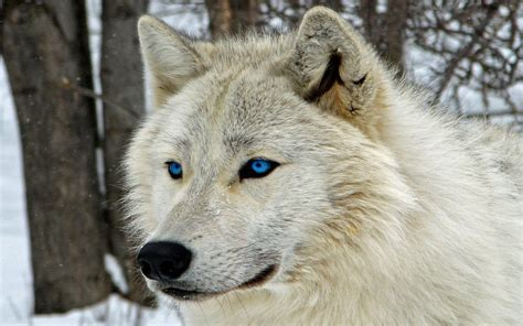 30 best stylized wolves images on white wolf wallpapers wallpaper cave