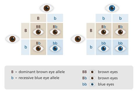 Eye Color Recessive Dominant Chart