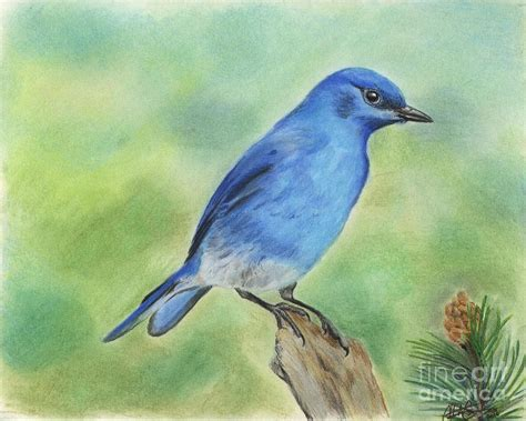 mountain bluebird drawing by christian conner