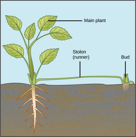 exles of vegetative propagation by roots asexual reproduction voer