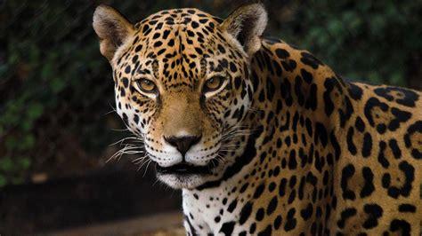 building a future for the jaguar asu now access