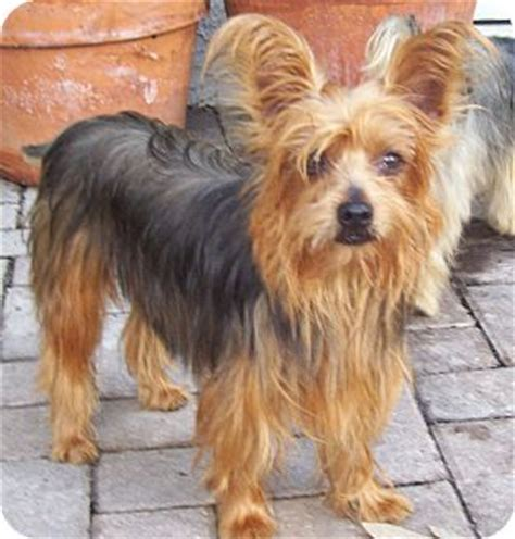 yorkie rescue florida cape coral fl yorkie terrier meet a for adoption