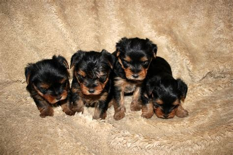 cup size yorkies puppies for sale teacup yorkie puppies for sale teacup yorkies rachael edwards