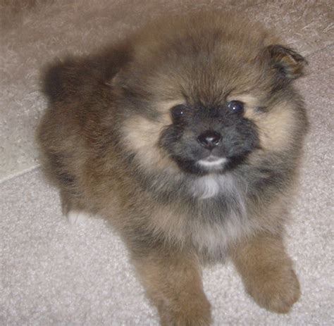 pomeranian puppy care guide adorable mini pomeranian wallpaper breeders guide