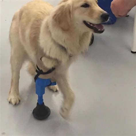 golden retriever legs give out this three legged got a helping paw from
