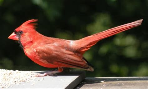 state bird of north carolina north carolina cardinal bird pictures state birds