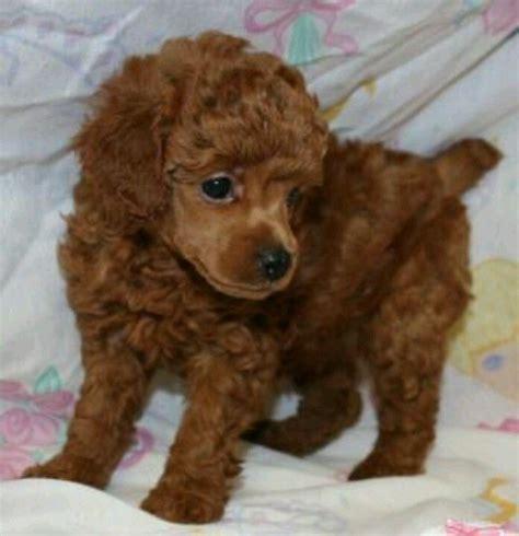 mini poodle puppies poodle puppy so poodle puppys poodles and