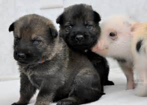 German shepherd puppies and newborn mini pigs make for the greatest of