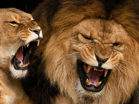 imagenes leones rugiendo le 243 n rugiendo hd fondoswiki com