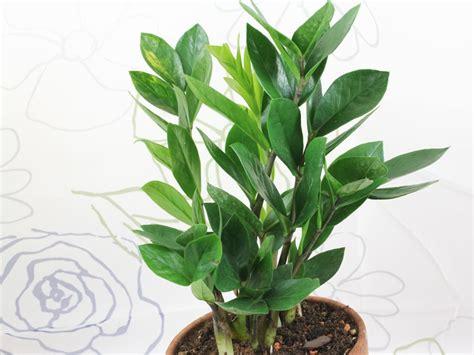 zamioculcas zamiifolia aroid palm