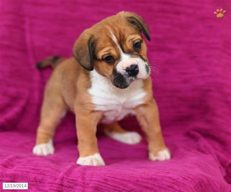 beabull puppies for sale in ohio 1000 images about beabull on