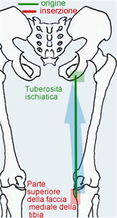 tendine interno coscia muscolo semitendinoso