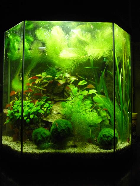 animates betta design aquarium mono aquarium 30l