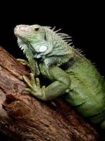 lizard iguana baby photo green iguana climbing
