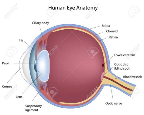 anatomy sections eye diagram anatomy human anatomy diagram