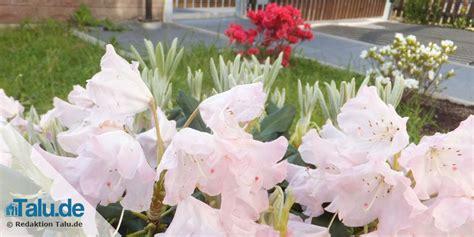 wann rhododendron pflanzen rhododendron umpflanzen welche pflanzen passen zu