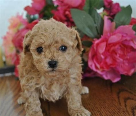 cavapoo puppies for sale in va 25 best ideas about cavapoo breeders on cavapoo dogs cavalier king