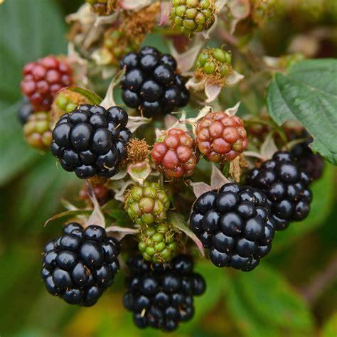 themes of blackberry picking blackberry picking seamus heaney essay antitesisadalah x