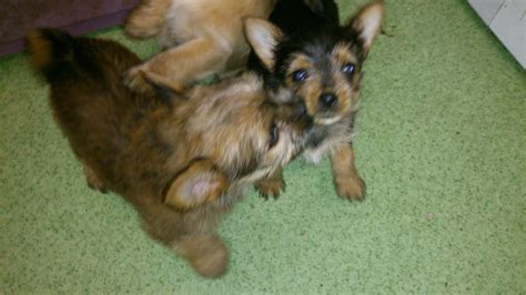 chorkies puppies chorkies puppies for sale southton hshire pets4homes