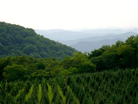 nc mountains tree farm greene tree farm boone nc choose and cut tree farms