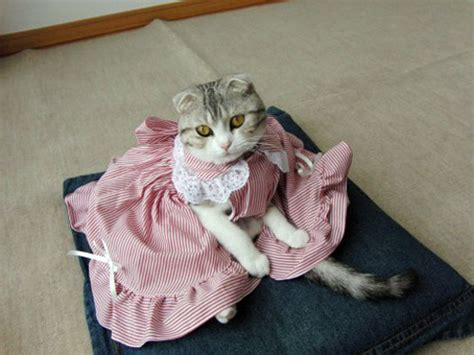 Dress Cat cats wearing dresses image source http lolpetclothes