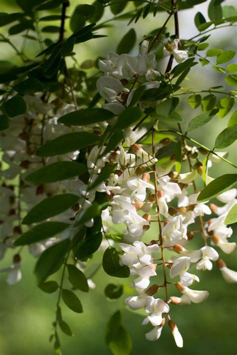 fiori di robinia in pastella tempura di fiori di robinia e di sambuco