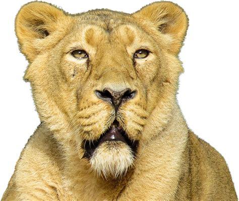 imagenes en png de animales foto gratis aislados animales le 243 n gato imagen