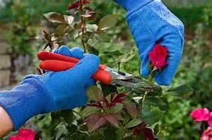 lada per piante come coltivarle potarle e riprodurle per talea da