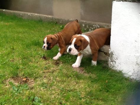 boxer puppies for sale colorado boxer puppies for sale ammanford carmarthenshire pets4homes