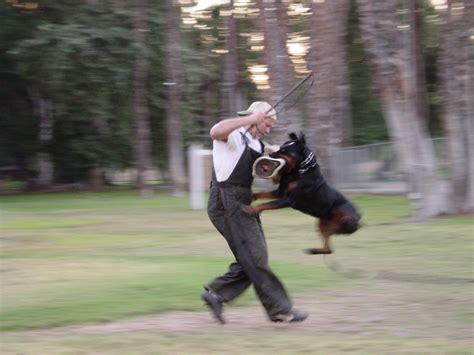 protection trained rottweilers smlpx science rottweiler doing protection athelete in motion