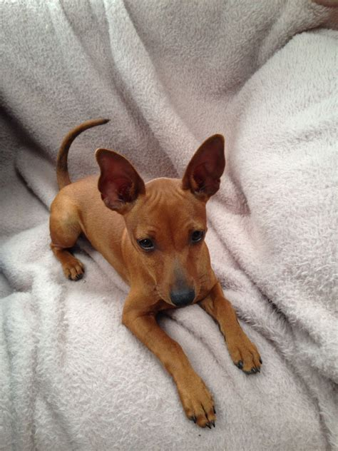 puppy pin kc reg boy miniature pinscher puppy st neots cambridgeshire pets4homes