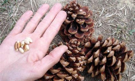 beneficios de los pi 241 ones frutos secos con muchas propiedades