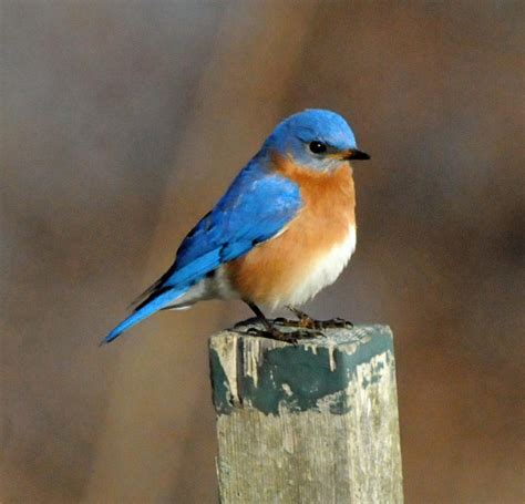 eastern bluebird flight back quotes