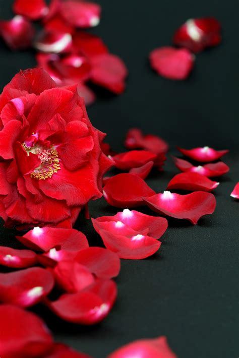 Bilder Roten by Rote Rosa Gelbe Wei 223 E