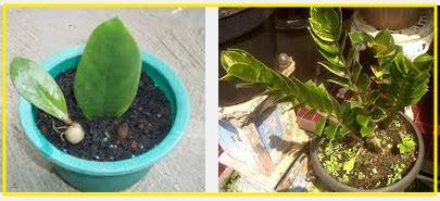 setek daun tanaman hias zamia kulkas merawatbunga