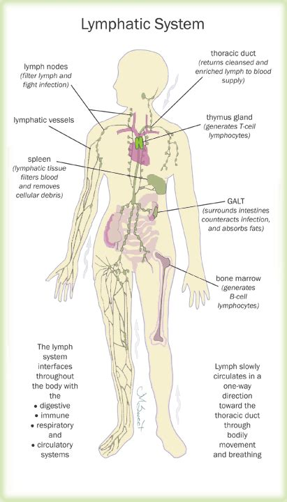 What Does Lymphatic Detox by The Lymphatic System And Your Health S Health Network