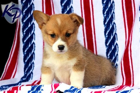 corgi puppies for sale pa 17 best images about corgi puppies on corgi pups puppys and