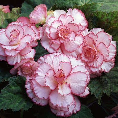 amerihybrid picotee begonia white  red tuberous