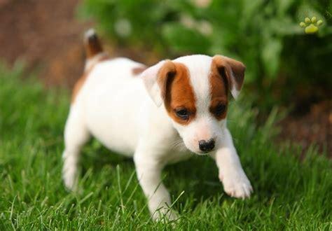 imagenes de un jack russell jack russell terrier escaparatedemascotas